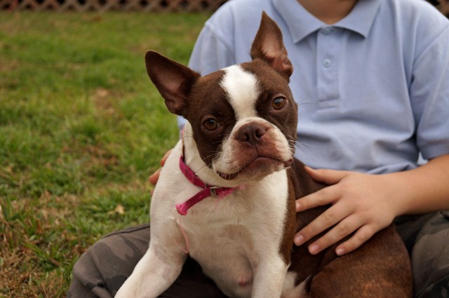 boston sale for Adult terrier