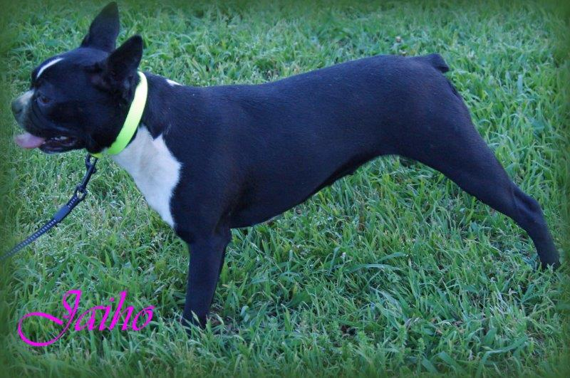 boston-terrier-jaiho1